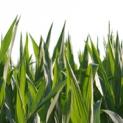 """Umfrage zum Thema """"Maismarkt"""""""